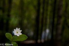 Metsätähti (Trientalis europaea) chickweed wintergreen