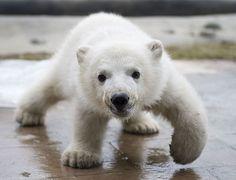 tundra animales - Buscar con Google