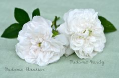 Madame Plantier and Madame Hardy Roses