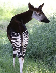 Okapi a giraffid artiodactyl mammal native to the Ituri Rainforest, located in the northeast of the Democratic Republic of the Congo, in Central Africa