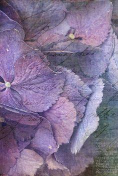 Pale Hydrangea petals