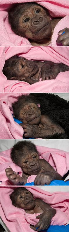 Gorilla at the San Diego Zoo Safari Park Undergoes Treatment for Collapsed Lung Save the date: Joanne is turning 1 next week!Save the date: Joanne is turning 1 next week! Primates, Cute Baby Animals, Animals And Pets, Funny Animals, Strange Animals, Les Innocents, Monkey World, Baby Gorillas, Cute Monkey