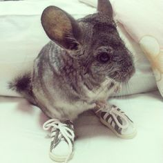Warm temperatures are more of a concern for chinchillas than cool temperatures, so care must be taken that pet chinchllas do not become overheated URL: http://chinchilla.co/ FB fan page: https://www.facebook.com/castoroil.org