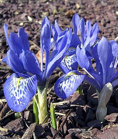 Iris histroides, Lady Beatrix Stanley