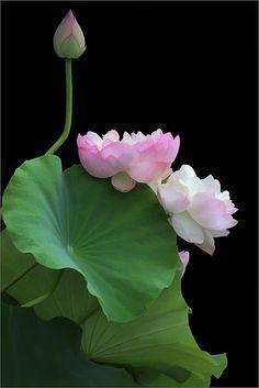 Lotus Flower | Bahman Farzad