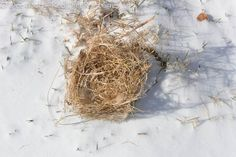 Remove sparrows' nest from Bluebird boxes. Bluebirds like their homes clean and ready for their arrival.