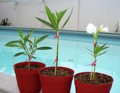 Leander szaporítása, tudj meg mindent te is a leander szaporításáról, hasznos tudnivalók a leander szaporításáról, szakértőnk tanácsai a leander szaporításához. Dream Garden, Herb Garden, Aloe Vera, Outdoor Gardens, Planter Pots, Herbs, Gardening, Plants, Decor