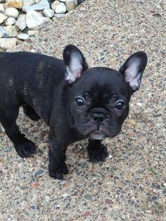 Zola - French bulldog