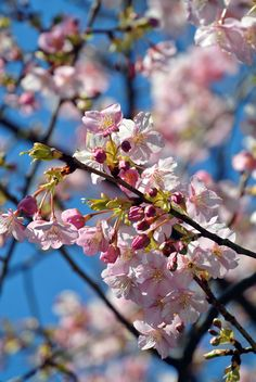 #spring, #cherry blossoms, #pink, #flowers, #sky,