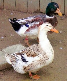 Silver Appleyard Ducks. I really want to try this breed.
