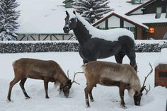 Real reindeer in front of the Riding Hall
