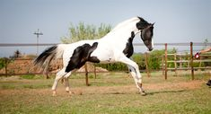 """Special Effects, born on the 15th of May 2006 was awarded """"Premium foal"""" at his Oldenburg Verband foal inspection. All of Special Effects siblings bred by Silverwood Farm have been awarded """"Premium"""" status, with the judges commenting on their fantastic movement and exact conformation. Special Effects is a modern, elegant stallion with very correct conformation, superb movement and an excellent temperament. He stands high off the ground on long correct legs and measures 16.3hh. Special…"""