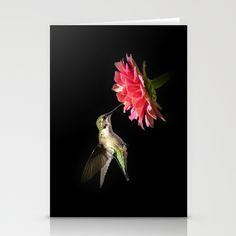 Hummingbird V by Christina Rollo © All Rights Reserved. SHOP MY ENTIRE COLLECTION at www.rollosphotos.com  Close-up of an elegant Ruby-Throated Hummingbird in flight with pink Zinnia flower on dark background.   Hummingbird, hummingbirds, ruby, throat, throated, hummingbird, close, up, closeup, portrait, in, flight, flying, bird, birds, animal, animals, wildlife, nature, with, beautiful, flower, flowers, summer, garden, gardens.