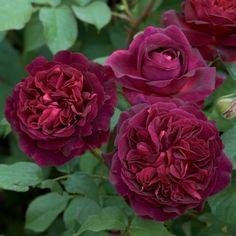 Munstead Wood - David Austin Roses. Variété labellisee ADR. Très robuste à tous les niveaux.