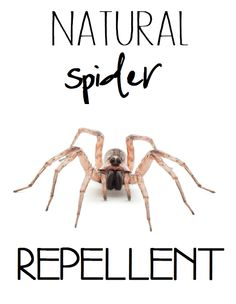 Natural spider repellent nature 39 s remedies pinterest Natural spider repellent
