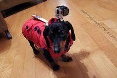 Wiener Dog Wearing GoPro Camera