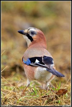 Le geai des chênes - Garrulus glandarius / Eurasian Jay, our jay in Belgium (Ardennes) Unfortunately I could not make myself a picture of him ! Small Birds, Little Birds, Love Birds, Beautiful Birds, Pet Birds, Bird House Kits, Jackdaw, How To Attract Birds, Funny Birds