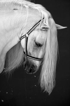 Andalusian horse - 'Pura Sangre' [literally, pure blood] by javidelucar on Flickr