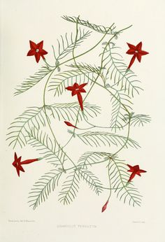 Familiar Indian Flowers 1878 Quamoclit Pennatum Canvas Art - Lena Lowis x Botanical Illustration, Botanical Prints, Collages, Vine Drawing, Vine Tattoos, Indian Flowers, Free Artwork, Art Archive, Arte Floral