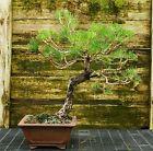 Bonsai Tree Japanese Black Pine JBP 815E