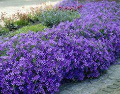 campanula portenschlagiana (Klokjesbloem) bodembedekkende wintervaste (-30°C) en wintergroene vaste plant. Kleur is donker paarsblauw, bloeitijd juni tem augustus. 10 cm hoge groene bladeren. Totale hoogte is ca. 15 cm. Plantafstand 30 cm (8-11st./m²)