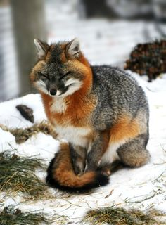 North American Grey Fox in full Winter finery! No wonder they call them sly, it's all in the eyes Nature Animals, Animals And Pets, Baby Animals, Funny Animals, Cute Animals, Exotic Animals, Wild Animals, Beautiful Creatures, Animals Beautiful