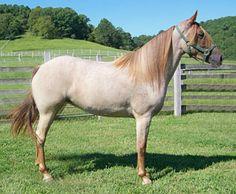 Red roan Missouri Fox Trotter mare, Knight Rider's Mercedes VS. All colors are permissable.