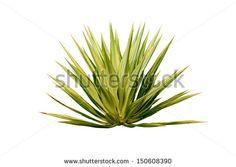 Agave plant isolated on white background. - stock photo