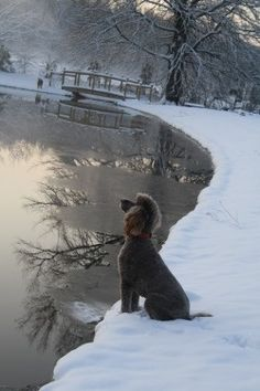 Winter Poodle Beautiful scene