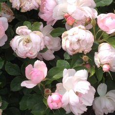 roses in bloom in Kew Gardens Chocolate Pumpkin Pie, Pantry Makeover, Kew Gardens, Cake Plates, Melting Chocolate, Spring Time, Florals, Roses, Bloom