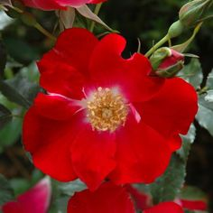 Dortmund (Shrub Rose) | Peter Beales Roses - the World Leaders in Shrub, Climbing, Rambling and Standard Classic Roses