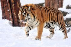 A giant reserve will be built in China to save the Amur tigers Animals And Pets, Baby Animals, Funny Animals, Cute Animals, Strange Animals, Wild Animals, Funny Animal Clips, Animal Memes, In China