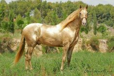 This horse looks like he's a Gold Pearl (Chestnut base) #goldenhorsebreed