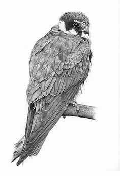 Hobby Bird Art by artist Rob Law