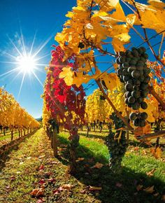 Amazing photo depicting fall in Oregon Wine Country by Ron Cooper. Taken at Cristom Vineyards near Oregon's capital city of Salem. | originally pinned by chris thomas | www.aaa.com/travel