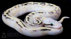 vanilla scream ball python.