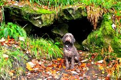 Wet labradoodle in the woods by lisadurkin