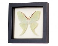 real framed luna moth display