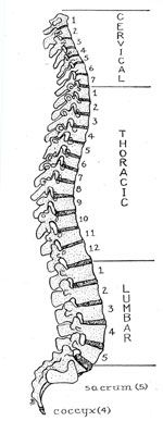 The Spine: Form & Function.  we are only as old as our spines?