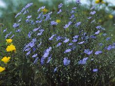 Linum lewisii (Wild blue flax) #23093