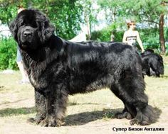 Newfoundland..I want one of these soooo bad, the both the dog and I would sleep in the garage if I did.