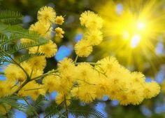 Stotine i hiljade stabala mimoze moglo bi biti posađeno u Herceg Novom Flower Meanings, Rain Barrel, Meant To Be, Flora, Scenery, Nature, Plants, Google Search, Type 3