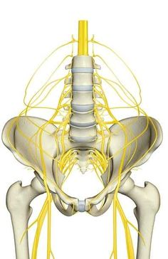 Nerves Affected By Psoas