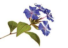 cerato-fiori-di-bach