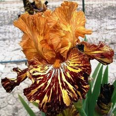 Spiced Tiger Tall Bearded Iris   This page was last updated: May 4, 2015