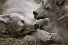 Wolf Den Shared Free Wolf Pack Photo