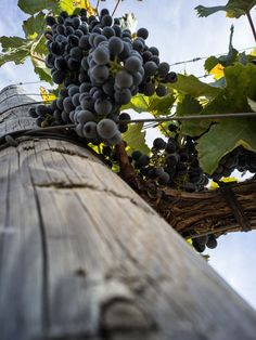 #Wine grapes proudly made in #Montalcino                                                                                                                                                     More