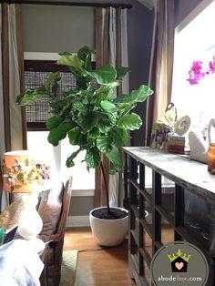 fiddle leaf fig tree a.k.a. heartbreaker