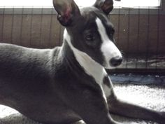 Vino is an adoptable Italian Greyhound Dog in Bellevue, OH. Vino is a beautiful Italian Greyhound. His foster mom says he's ready to move on to his new home! Vino gets along with dogs and likes to go ...