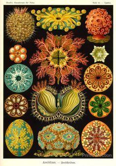 "Ascidiae plate from ""Kunstformen der natur""  by Ernst Haeckel, 1904.  PrintCollection.com."